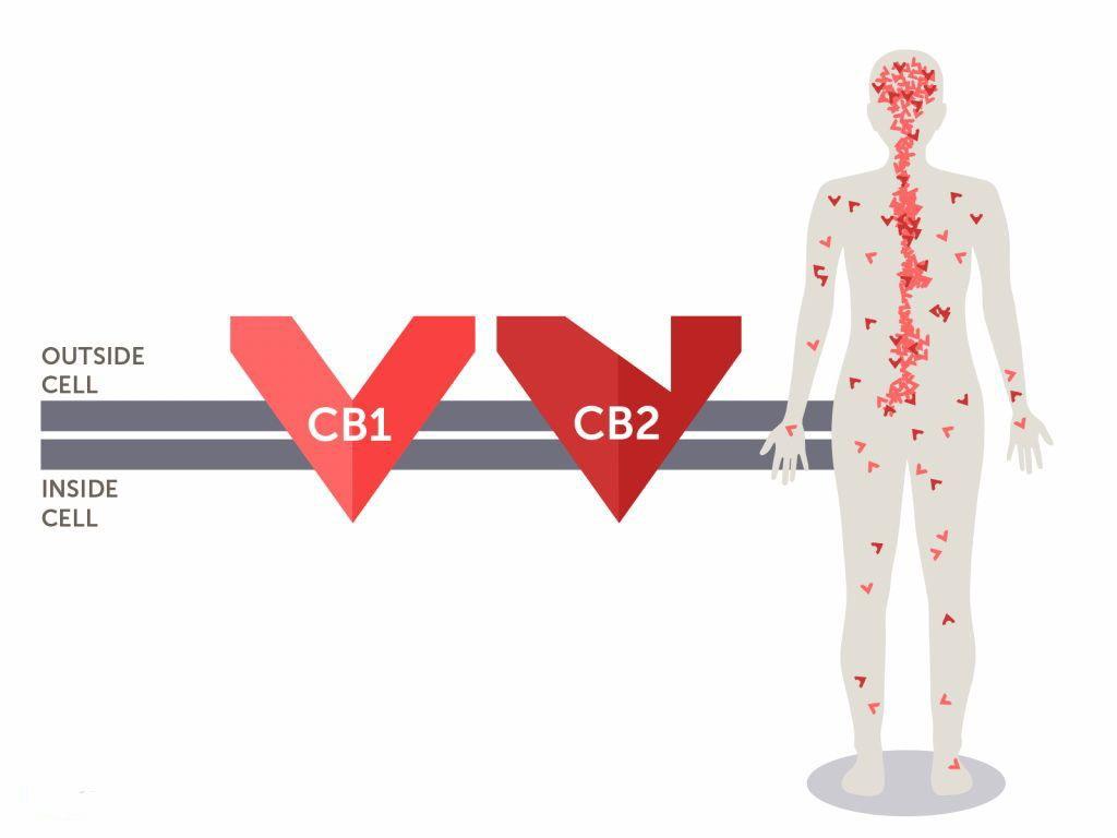 Endocannabinoid_system_CB1_CB2