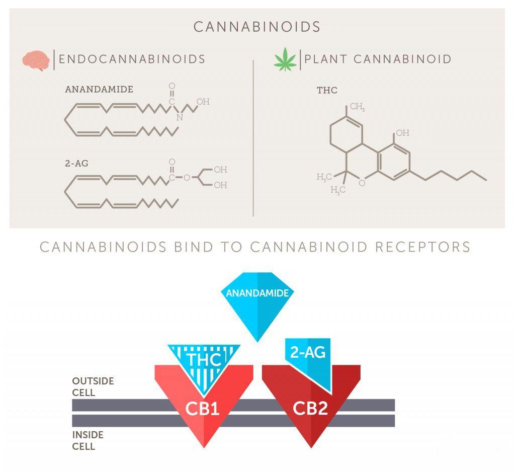 Endocannabinoids_Plant_cannabinoids